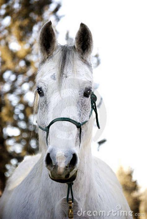 pretty flea bitten grey horse stock photo image