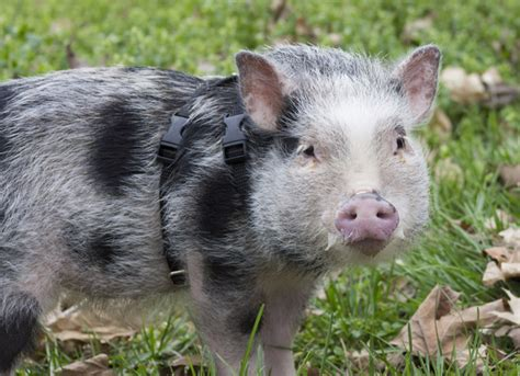 guide  owning  potbellied pig petmd