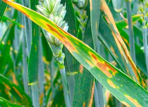 http://www.junglekey.fr/search.php?query=Septoria+tritici&type=image&lang=fr&region=fr&adv=1&start=100
