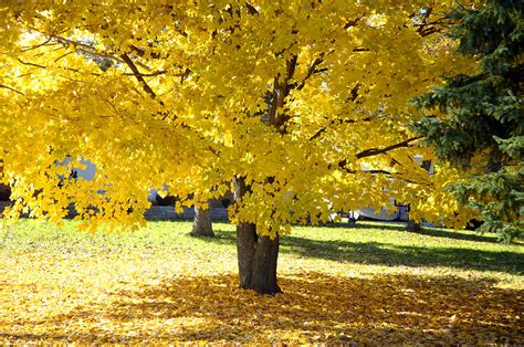 trees with yellow leaves in fall fall maple tree with bright yellow leaves photograph by
