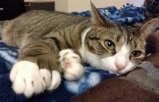polydactyl cat 11 things you didn t about polydactyl cats mnn