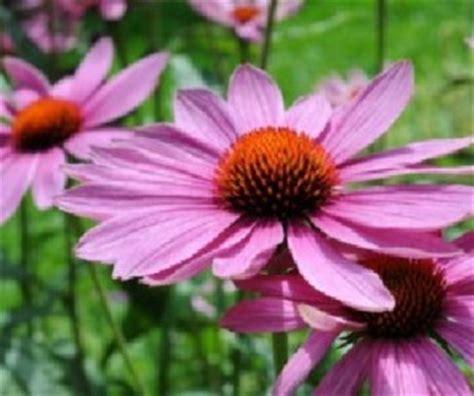 mononucleosi alimentazione mononucleosi cure alternative l echinacea