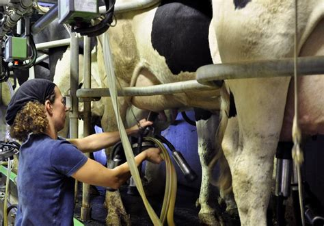 salle de traite vache laitiere l 233 levage la est dans le pr 233 maison du lait