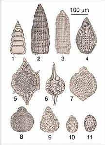 Examples Of Radiolaria From Bebalain  Roti Island  Hand