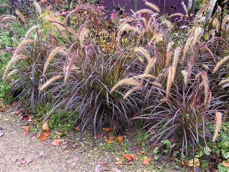 Rotes Ziergras Winterhart by Rotes Lenputzergras Pennisetum Setaceum Rubrum Ziergras