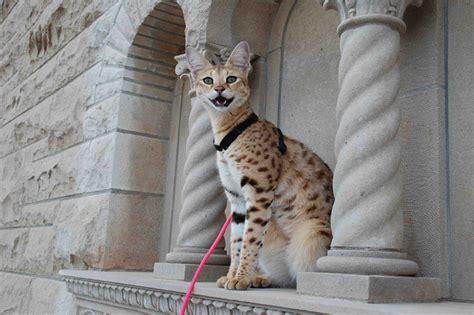 Intoducing The Savannah Cat Gallery
