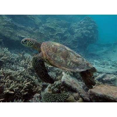 AQUATICHYK: GREEN SEA TURTLE / Chelonia mydas