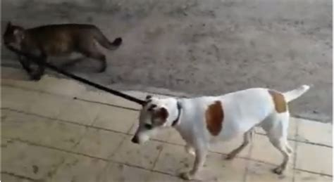 hilarious cat walks dog  leash video  green planet