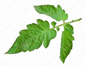 Feuille De Tomate : what are some examples of monocot and dicot leaves and how ~ Melissatoandfro.com Idées de Décoration