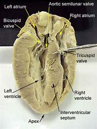 Best 25 ideas about heart diagram find what youll love sheep heart dissection labeled diagram ccuart Image collections