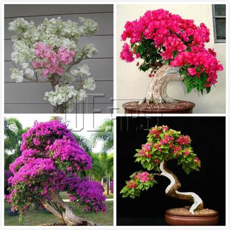 cheap 100 mix color bougainvillea seeds potted flower plant need almost no care by