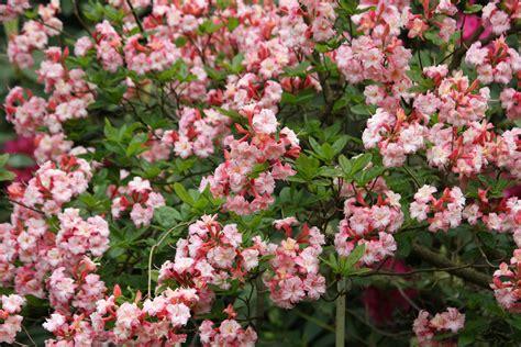 pink flowering bush pink flowering shrub identification related keywords pink flowering shrub identification long