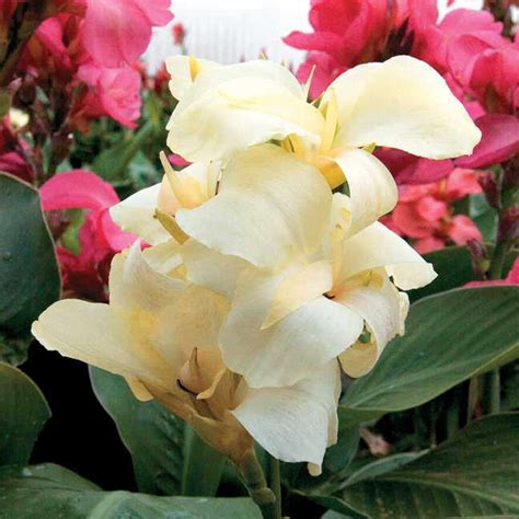 tropical white canna seeds from park seed