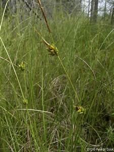 Minnesota Seasons - few-seeded sedge