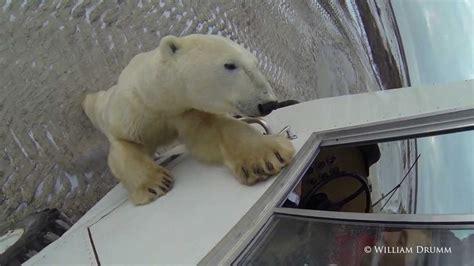 Polar Bear Attacks Driver In Churchill Canada