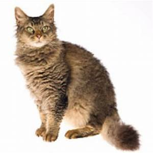Cats La : laperms cat masterpet ~ Orissabook.com Haus und Dekorationen