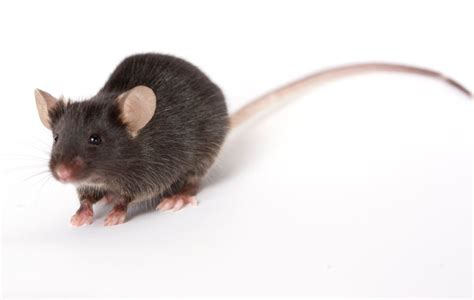 pictures of mice of mice and men the mouse as a model for human disease yale scientific magazine