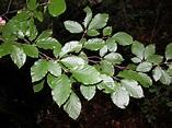 Fagus sylvatica (European beech): Go Botany
