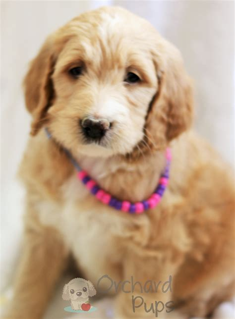 Puppy For Sale Goldendoodles For Sale Puppies Ny Adopt