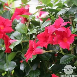 Jardiniere Fleurie Plein Soleil : dipladenia sundaville rouge pot diam tre 17 cm autres ~ Melissatoandfro.com Idées de Décoration