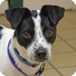 border collie jack russell mix Quotes