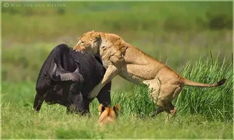 Lion vs Gorilla Fight