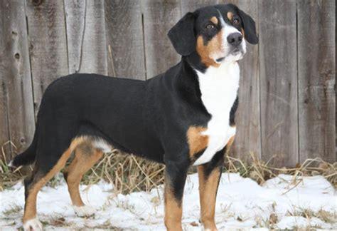 entlebucher mountain dog info history temperament