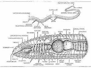 Esfome  Labeled Earthworm Diagram