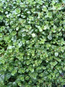 Weihrauch Pflanze Winterhart : echter thymian thymus vulgaris ~ Lizthompson.info Haus und Dekorationen