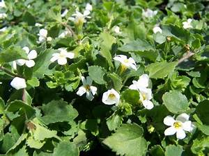 DM Color Express » Bacopa WhiteDM Color Express