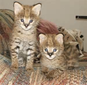 cats as pets serval cats serval cat care and serval cats as