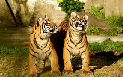 Tigres Fondo Caminando Pantalla Tiger Tigers Animal