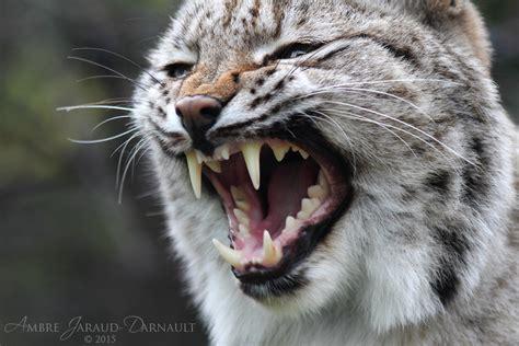 win   fight pitt bull  lynx page