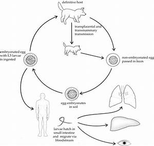 Soil-Transmitted Helminthic Zoonoses in Humans and ...
