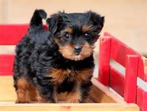 Cheap Yorkie Poo Puppies