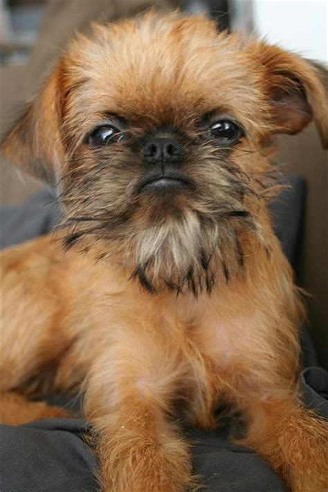 Do Brussels Griffon Shed A Lot by 25 Best Ideas About Griffon Bruxellois On