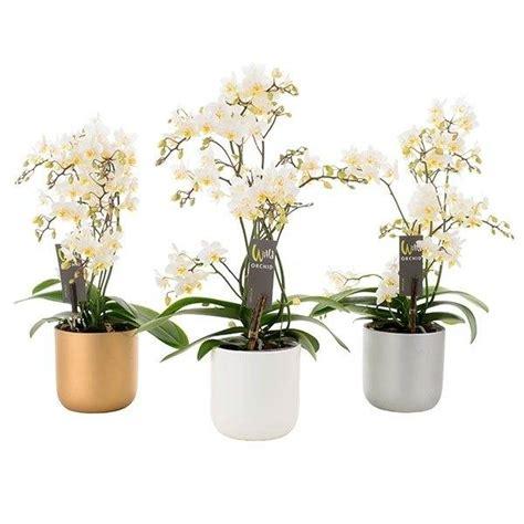 blanc en pot phalaenopsis willd white en pot no 235 l florastore