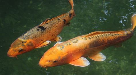 common koi pond issues   solve  timberland
