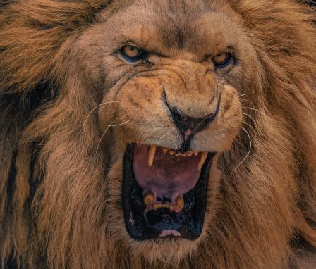 roaring lion funmozar angry roaring lions photo