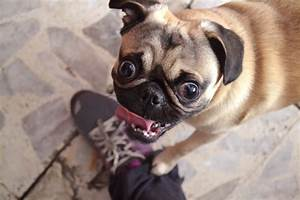 Super excited pug | Adorable Animals | Pinterest