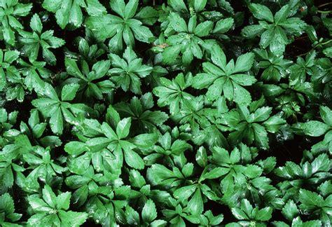 euphorbia ground cover japanese pachysandra terminalis spurge ground cover