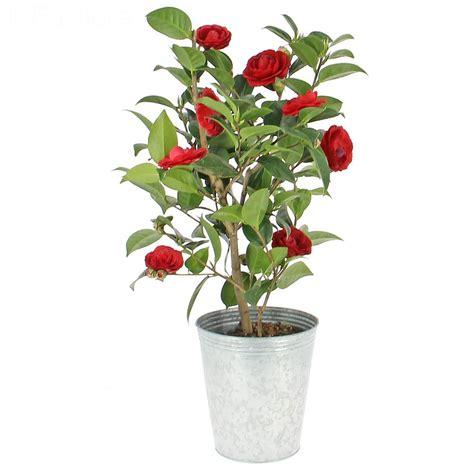 plante camelia en pot livraison 233 lia plante fleurie foliflora