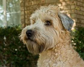 i like the short ears wheaton terriers pinterest