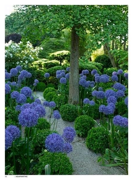 landscaping with agapanthus agapanthus flowers garden love my garden pinterest