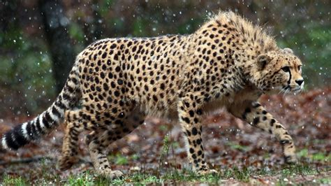 Animal Photo Wallpaper - cheetah 4k wallpapers hd wallpapers id 19614