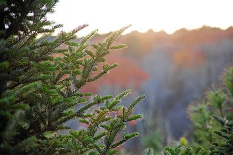 can you trim a christmas tree starting nov 21 you can cut a tree in white mountain national forest