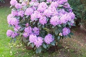 Bäume Beschneiden Jahreszeit : rhododendron schneiden wann wie macht man das ~ Yasmunasinghe.com Haus und Dekorationen