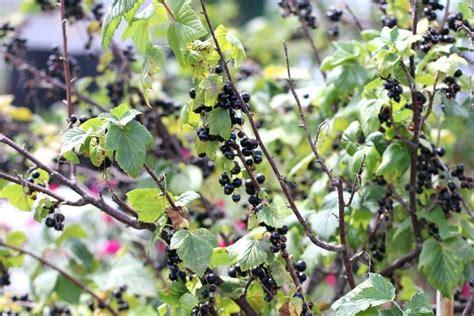 schwarze johannisbeere krankheiten johannisbeere hochstamm rote schneiden schwarze