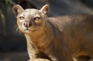 Madagascar Predator Fossa