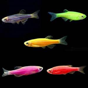 Tropical Fish for Freshwater Aquariums GloFish Danio rerio